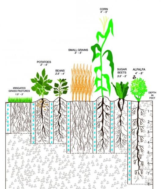 depth of roots